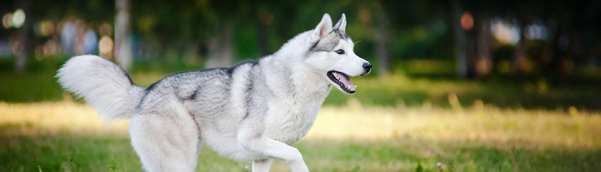 Siberian Husky Puppy For Sale Husky Puppies Breeder